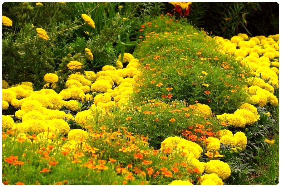 Самые солнечные цветы для солнечного цветника