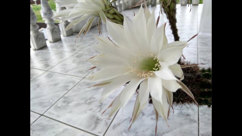 Цвітіння ехінопсиса Кактус Echinopsis эхинопсис цветение