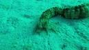 разновидность морского огурца