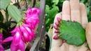 Ghép cây hoa tiểu quỳnh để có chậu hoa đẹp p2 | Grafting trees to have a beautiful flower pot p2