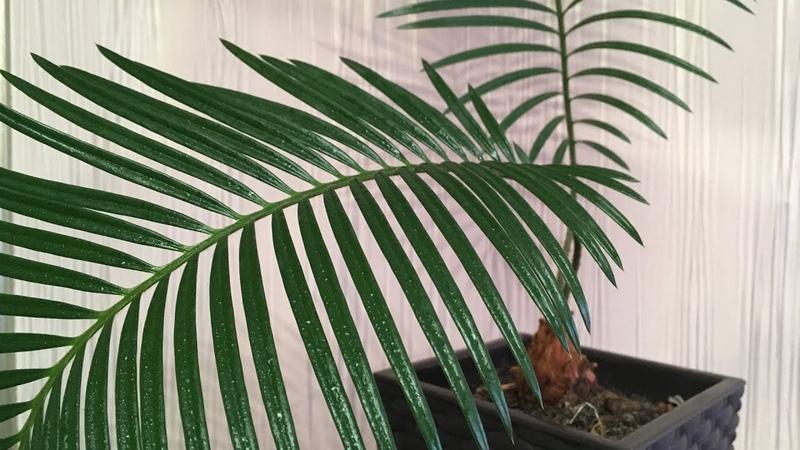 Цикас Cycas revoluta Пересадка субстрат уход Japanese sago palm