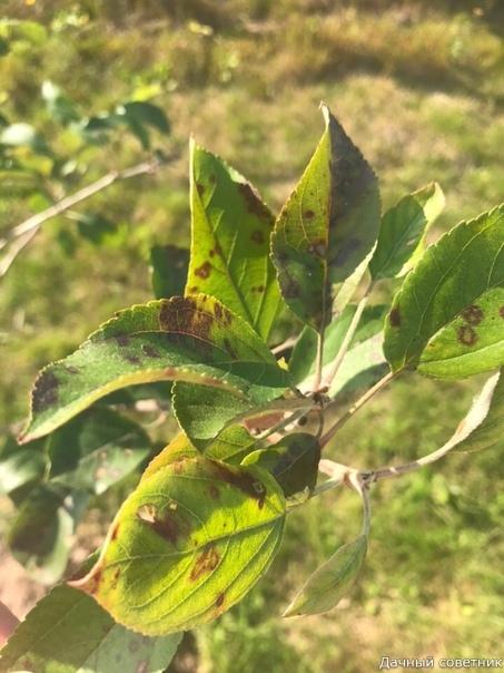 Добрый день! Опубликуйте пожалуйста. Только посадили новые деревья груша и яблоня, не прошло недели они заболели и кто-то активно их стал есть, где-то есть паутинка ещё. Может кто-то подскажет