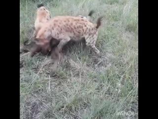 Гиены убивают детёныша бизона