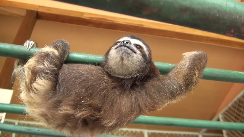 Baby Sloth learns to climb
