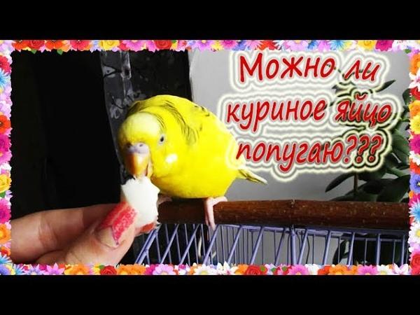 Можно ли давать попугаю куриное яйцо Как давать яйцо волнистому попугаю Можно ли яйцо попугаю