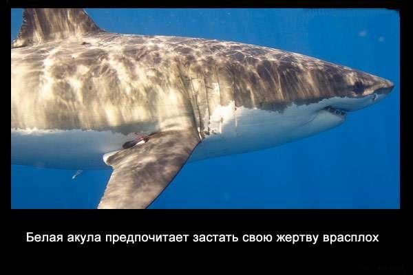 валтея - Интересные факты о акулах / Хищники морей.(Видео. Фото) Qh2JwKtpyG8
