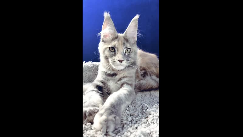 Girl Color Blue silver tortie tabby gs22