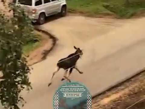 По улице около школы в Кимрах бегал взрослый испуганный лось