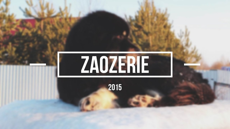 Zaozerie Tibetan mastiff puppies winter 2015