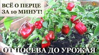 ПЕРЕЦ от посева до урожая ЗА 10 МИНУТ! / Все секреты выращивания перца