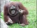 Orangutan Saves Baby Chick from Drowning Орангутанг спасает птенца