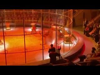 В екатеринбургском цирке подрались львы