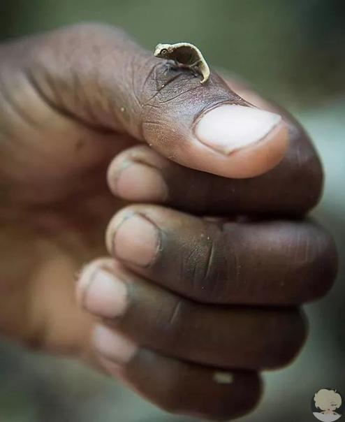 Один из самых маленьких в мире позвоночных