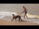 Родезийский риджбек Боня на волнах Азовского моря