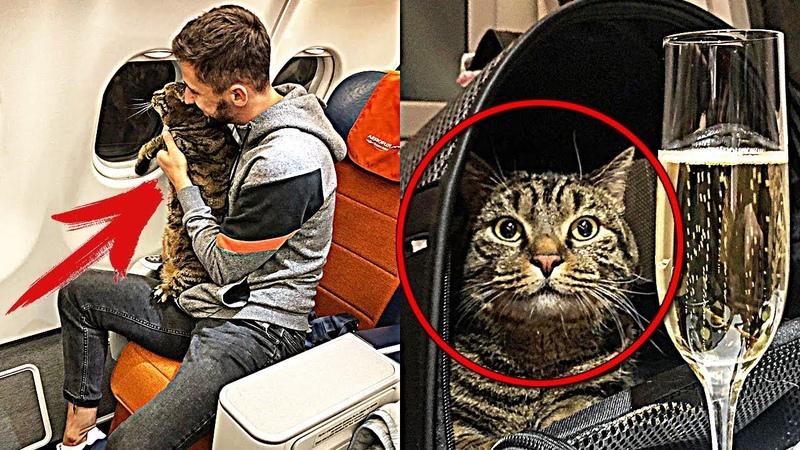 ТОЛСТОГО кота Виктора не пустили в САМОЛЁТ. Тогда хозяин придумал ХИТРЫЙ план с подменой КОТОВ
