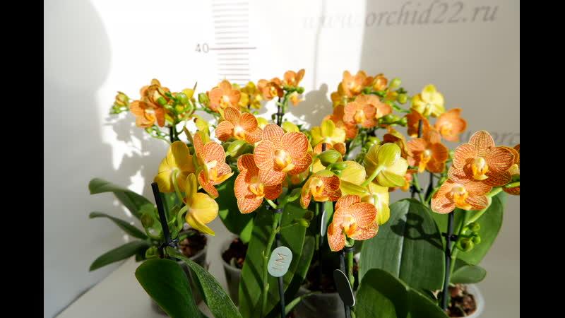 Орхидея Phalaenopsis Little Zorro midi