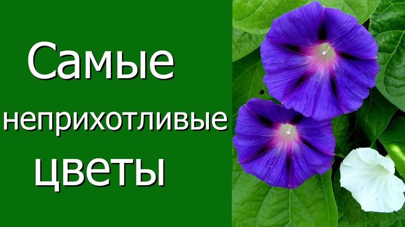 Самые неприхотливые цветы