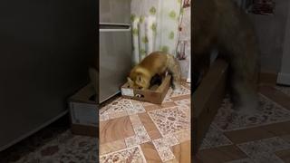 Лиса выгоняет кошку из коробки