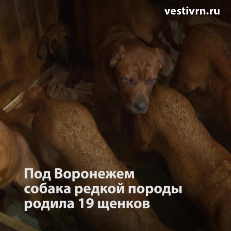 собака редкой породы родила 19 щенков