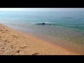 Дельфинчик ловит рыбку. Крым. Керчь.