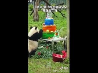 В Китае отметили коллективный день рождения 5 больших панд