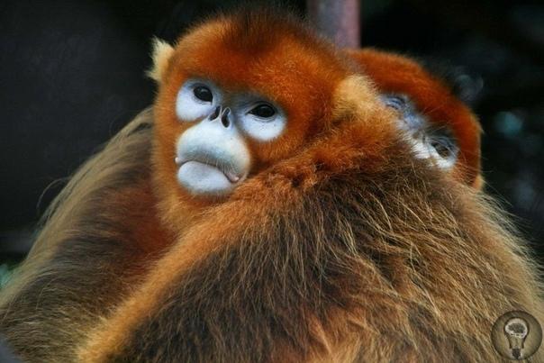Золотоголовый сифаки лемур из Мадагаскара К сожалению, на земле стало очень много видов животных, которые находятся на грани вымирания. В приличном списке находится и золотоголовый сифака. Это