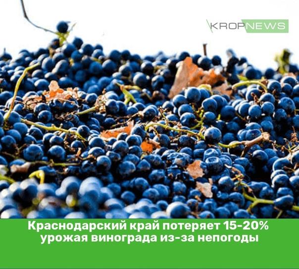 Краснодарский край потеряет 15-20% урожая виноград...