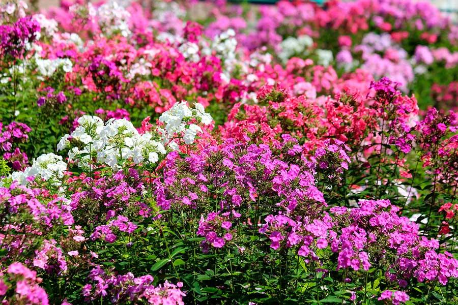 однолетние цветы для сада, флоксы из семян