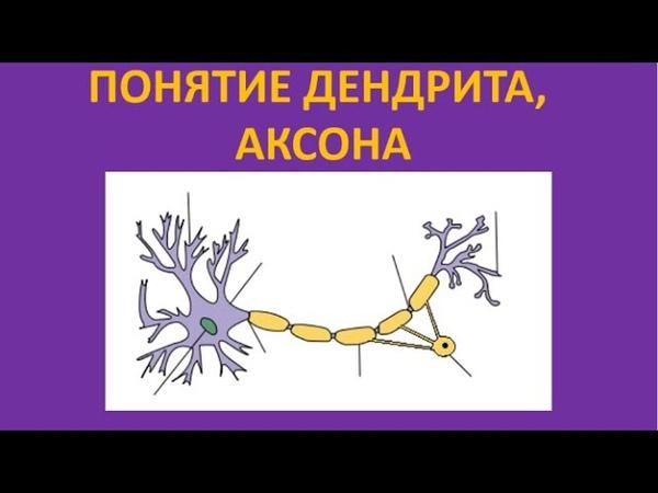 Понятие дендрита аксона
