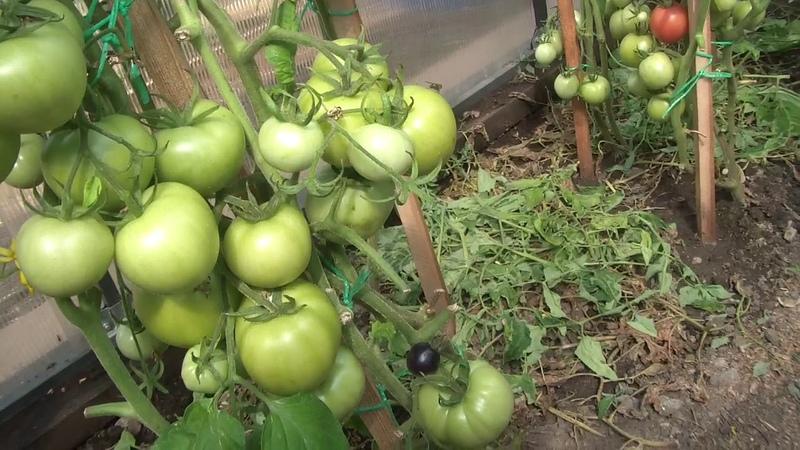 Обзор томатов в теплице. Часть 1