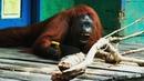 Orangutan Saws Branches for Fun   Spy In The Wild   BBC Earth