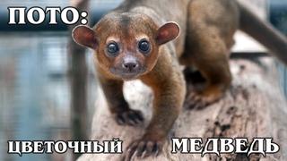"""КИНКАЖУ: Домашний """"цветочный медведь"""", обезьянка или енот? Интересные факты про кинкажу и животных"""