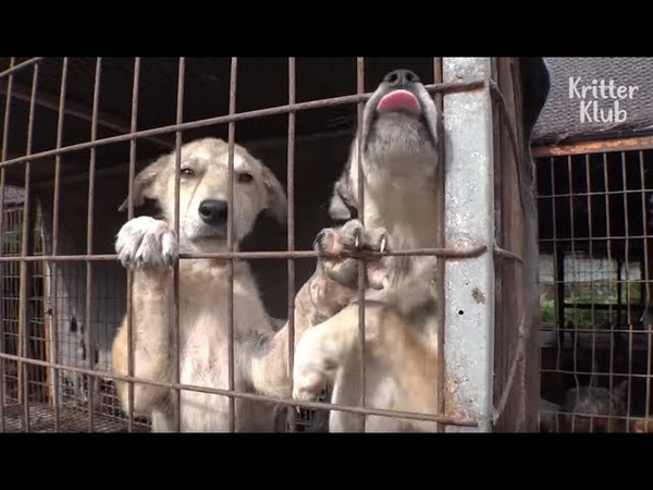 Dogs Watch Their Excited Friend Dies In His First Outing With A Dog Farm Owner Kritter Klub