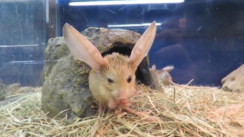 Длинноухий тушканчик или Jerboa - маленький кенгуру)