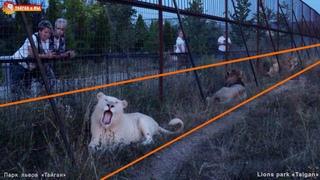 Под забором дружно в ряд львиный возлежит отряд! Львы. Тайган. Filming lions by drone DJI Mini 2.